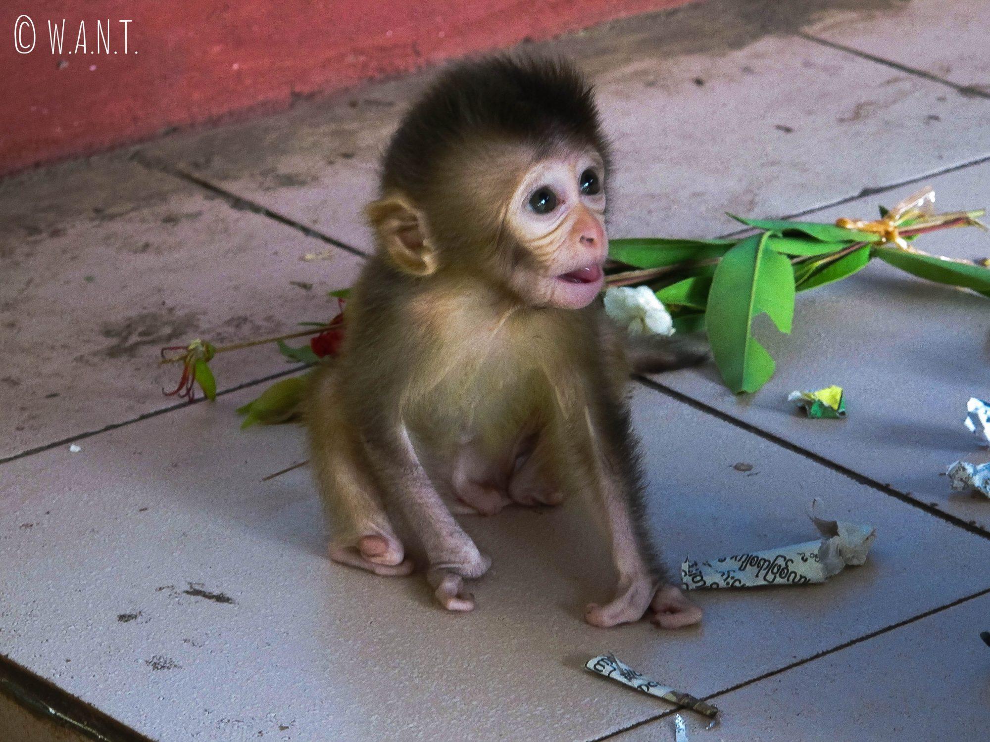 Bébé singe rencontré lors de l'ascension du mont Popa
