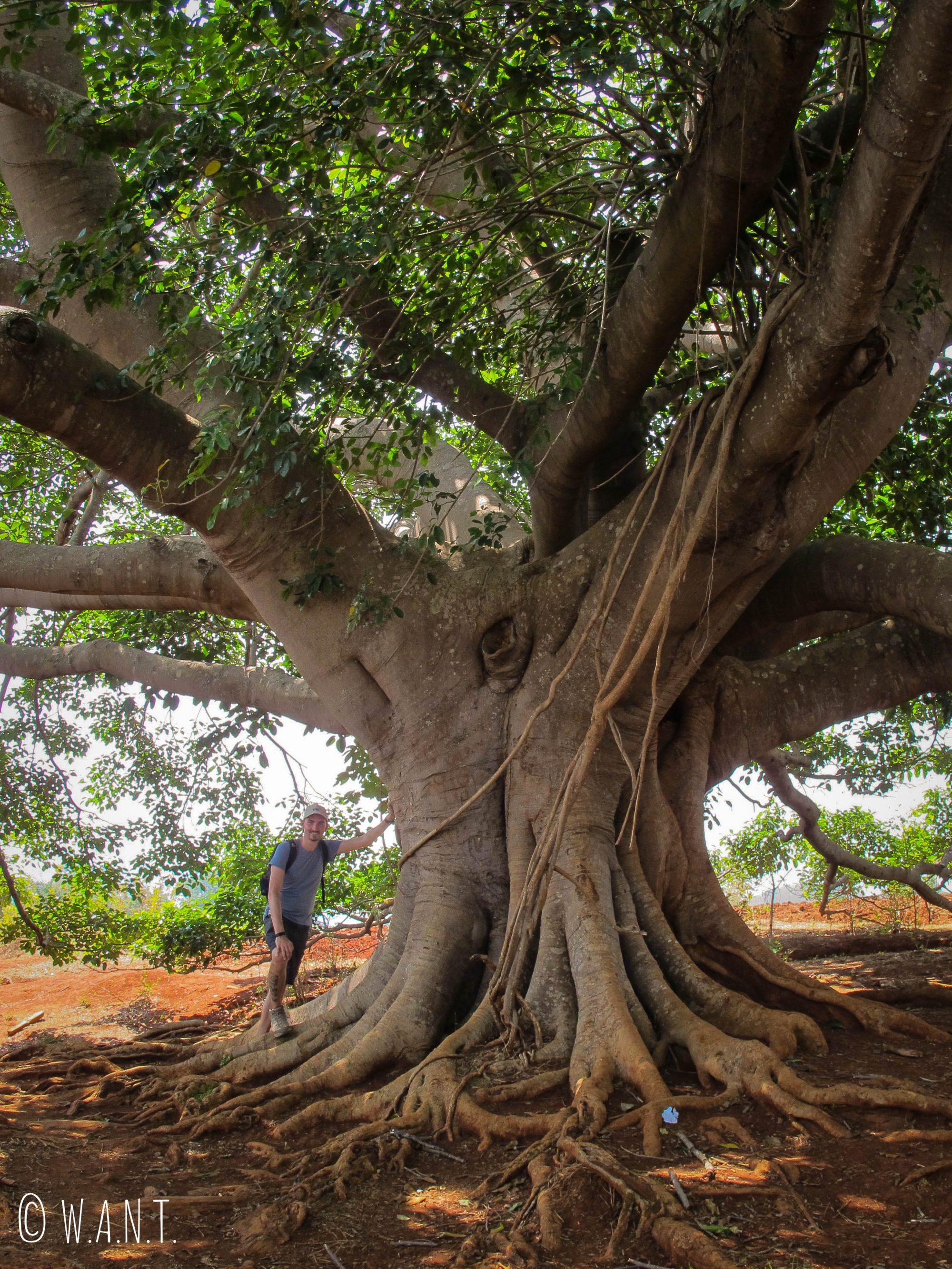 Banyan Tree, arbre sacré dans la culture bouddhique