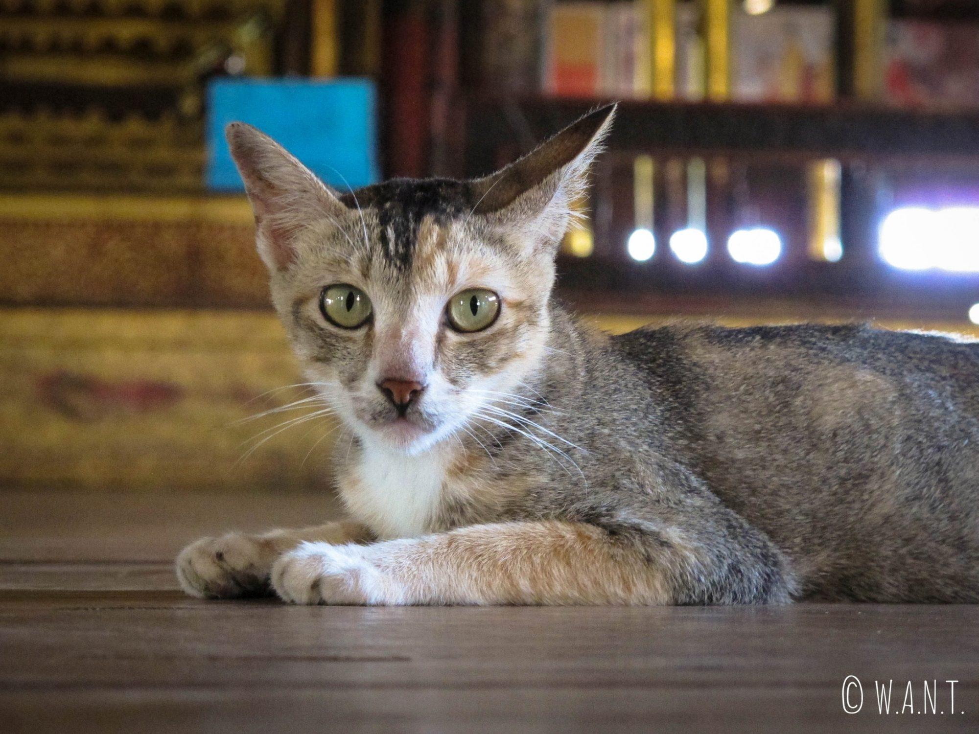 Chat du monastère Jumping Cat Nga Phe Chaung