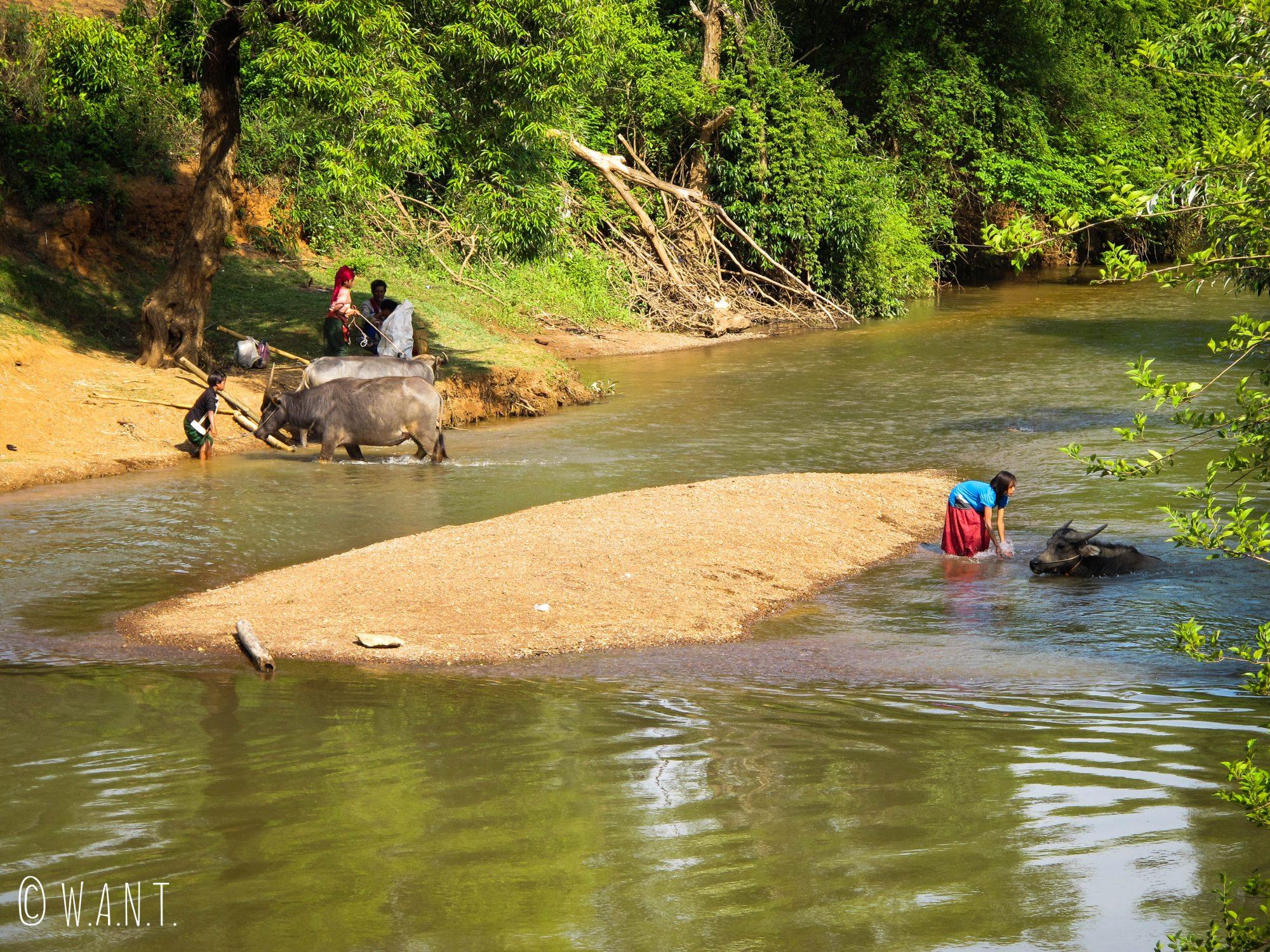 Il est l'heure du bain pour les buffles dans la rivière