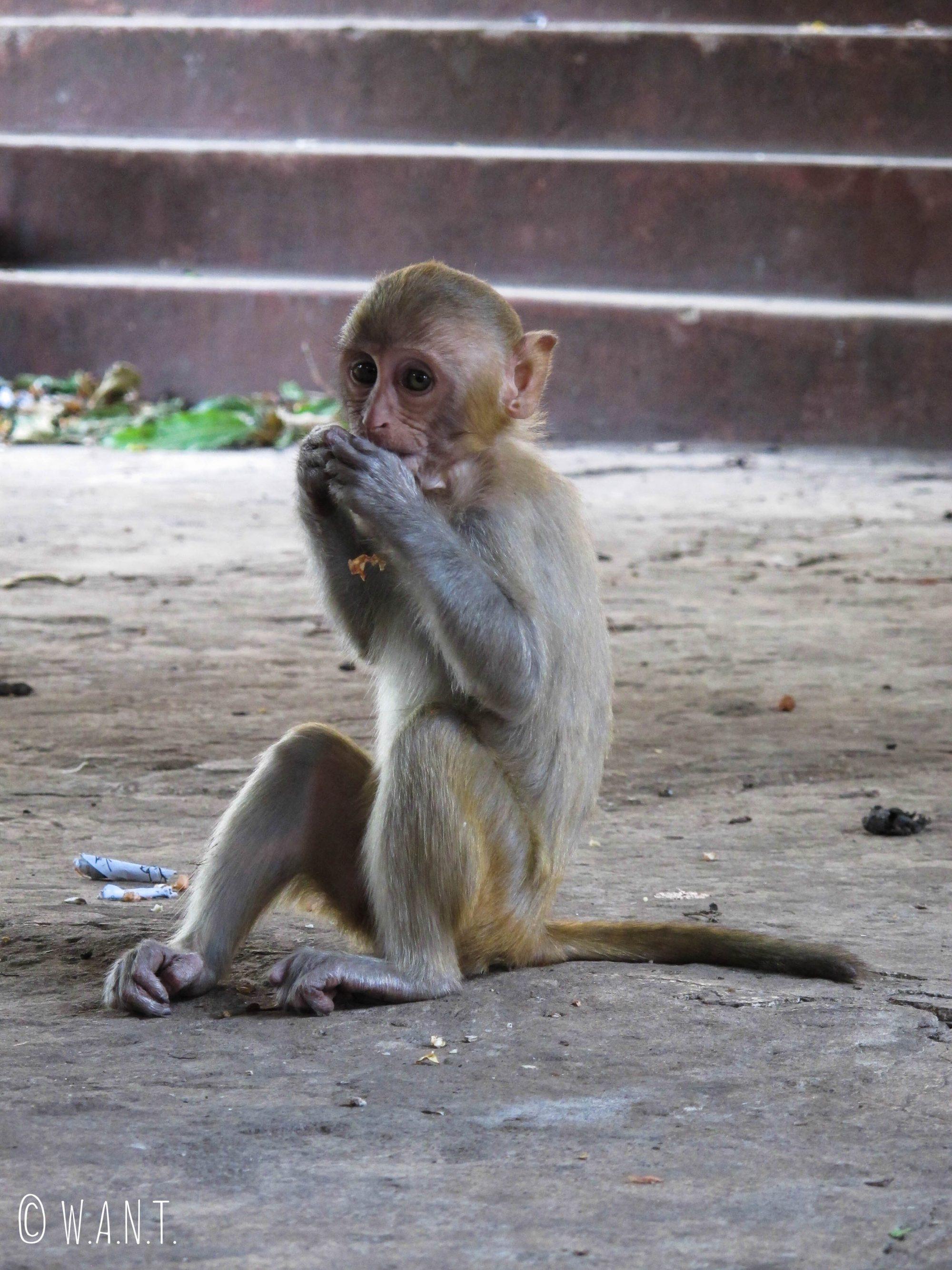 Il est possible de nourrir les singes présents sur le mont Popa