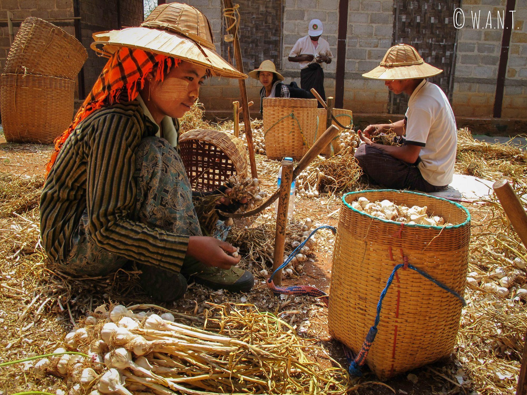La famille de notre guide, Nambo, cultive de l'ail