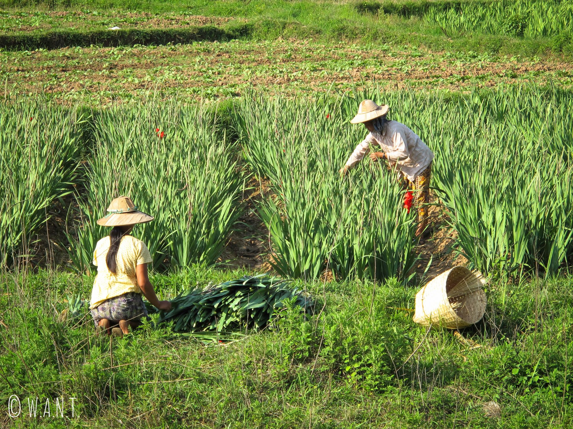 Le travail dans les champs est quasi exclusivement manuel