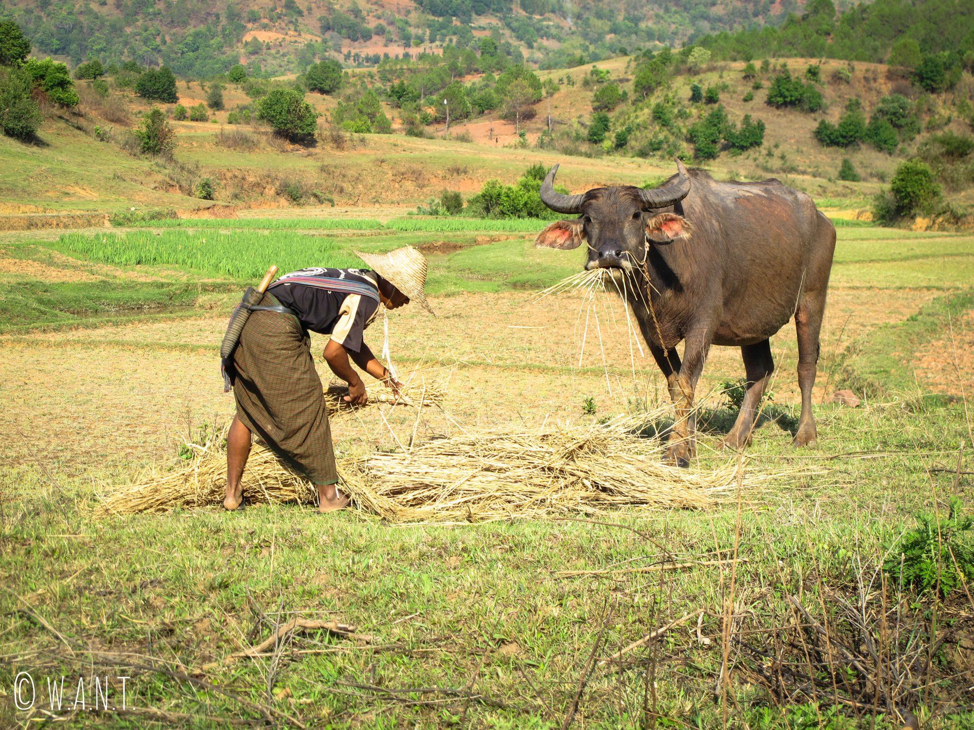 Les animaux sont très présents dans l'agriculture birmane