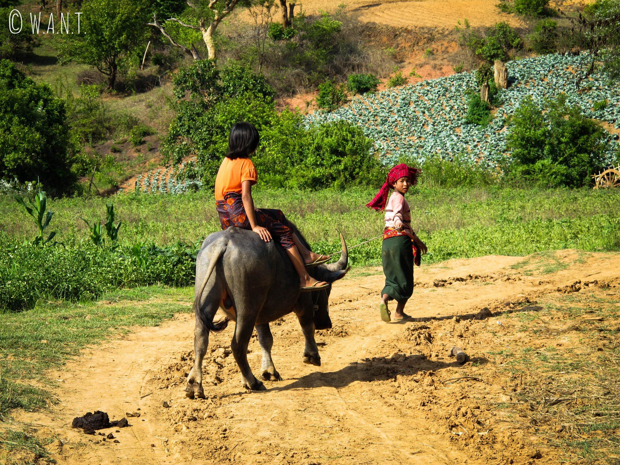 Les enfants conduisent les buffles à la rivière