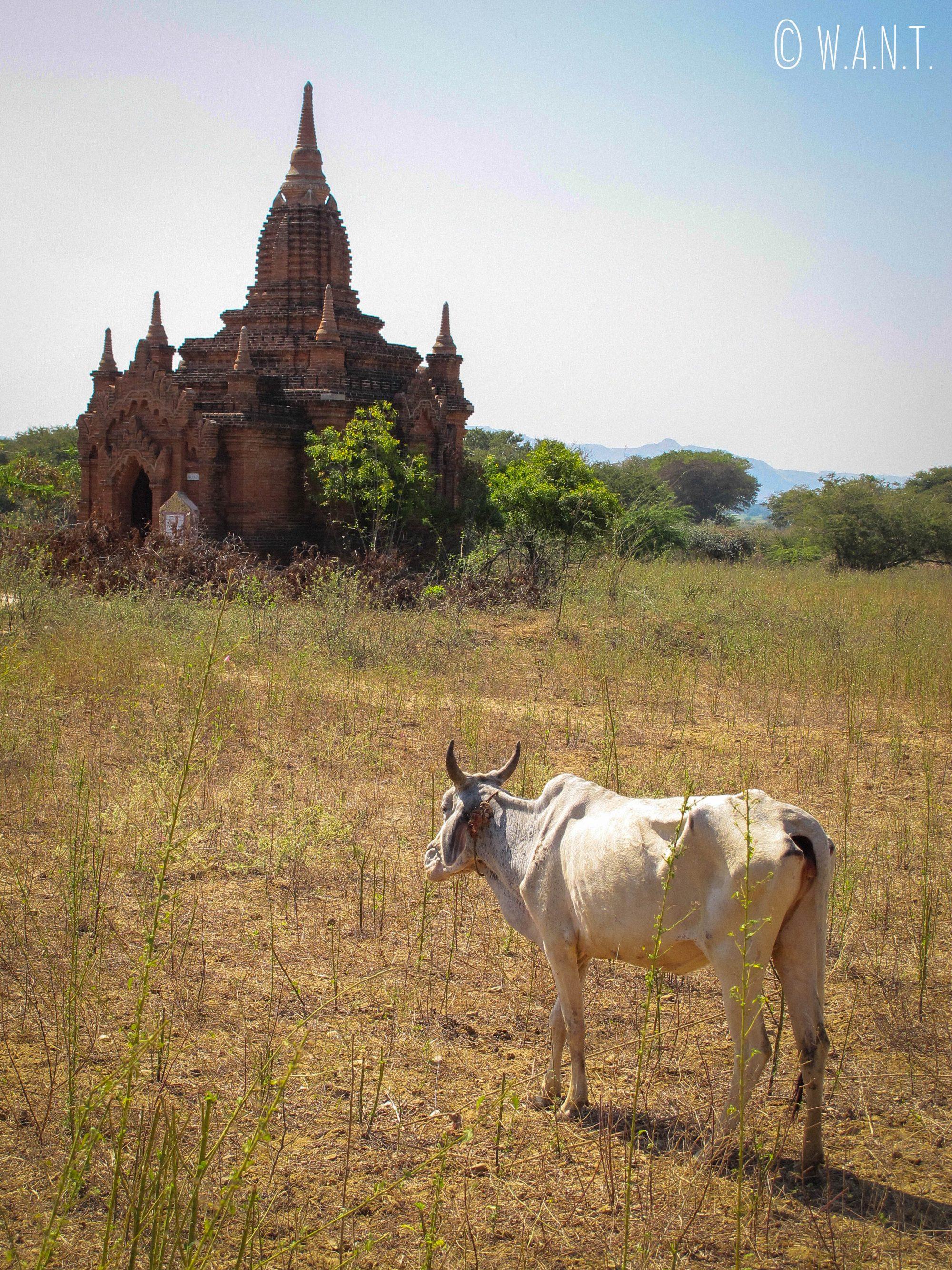 Vache au milieu des pagodes