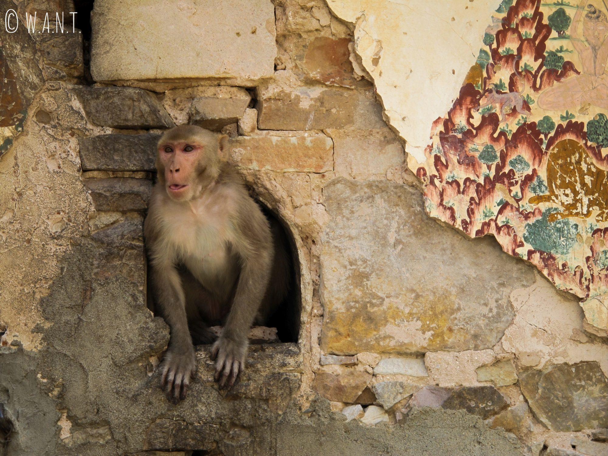 Au Monkey temple, les singes vont et viennent dans les temples nullement perturbés par la présence humaine