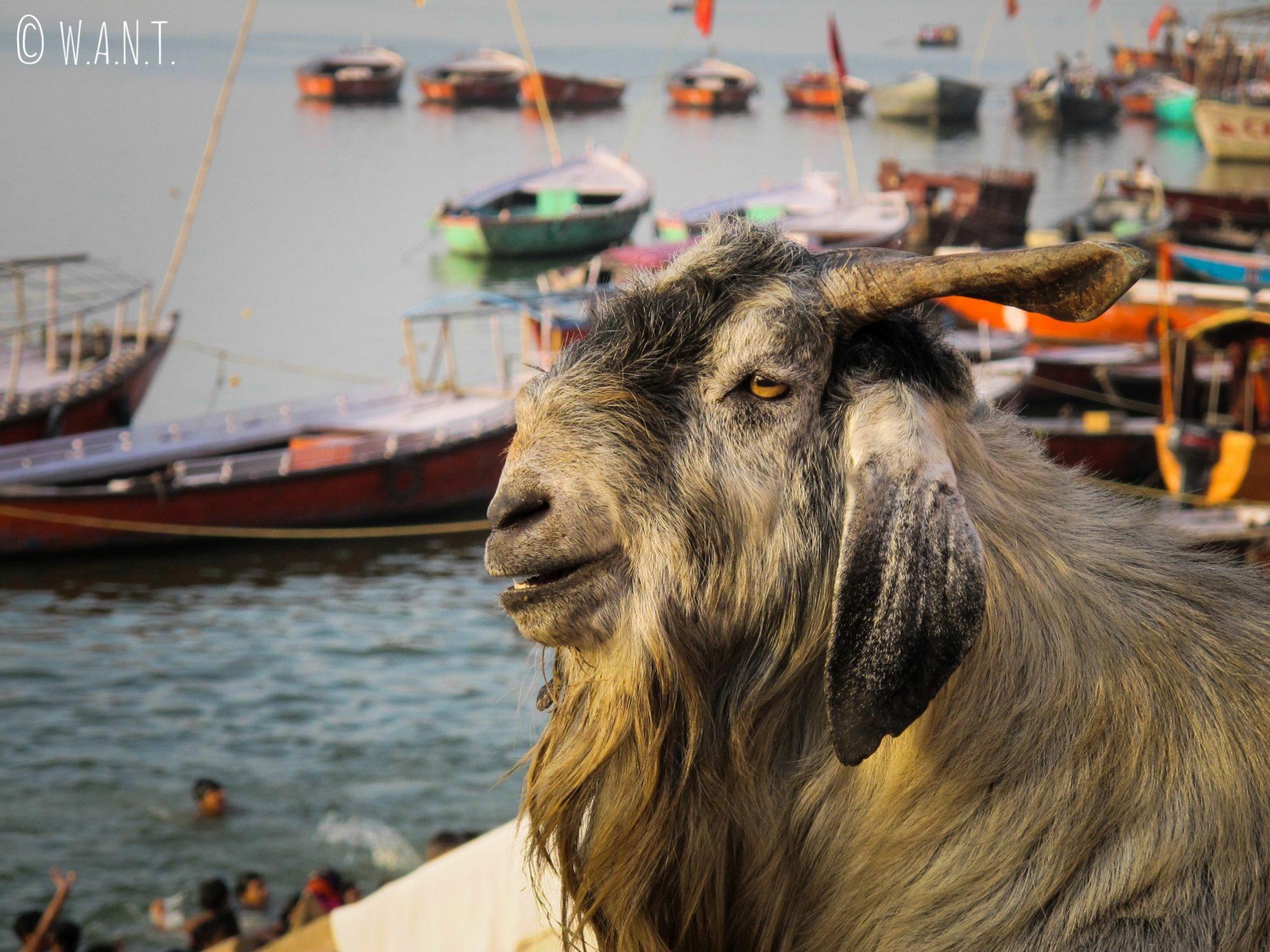Ce bouc, installé sur le bord du Ghat, contemple paisiblement le Gange
