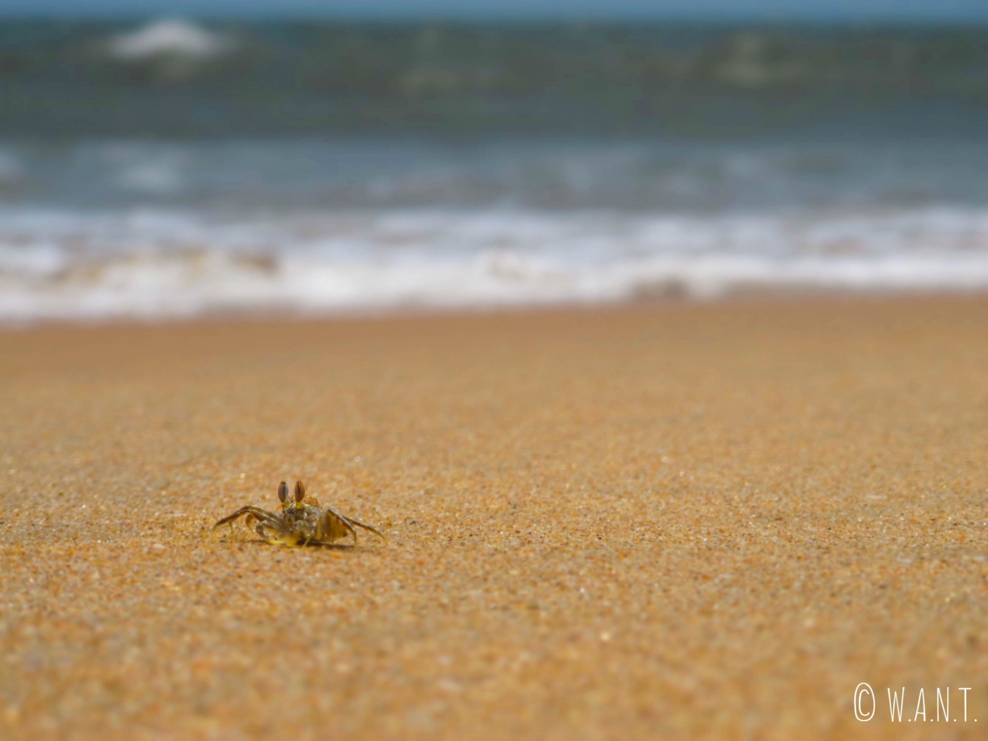 De nombreux crabes ont élu domicile sur la plage de Majorda