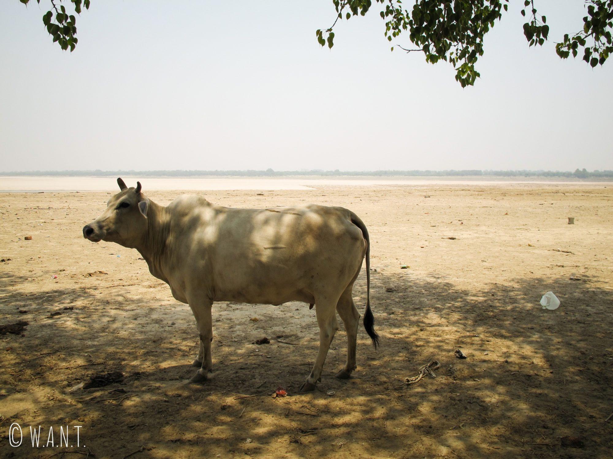 En un mois de voyage en Inde, nous n'avons jamais autant croisé de vaches qu'à Varanasi.