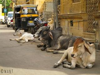 La population de vaches dans les rues de Jaisalmer est tout simplement incroyable !