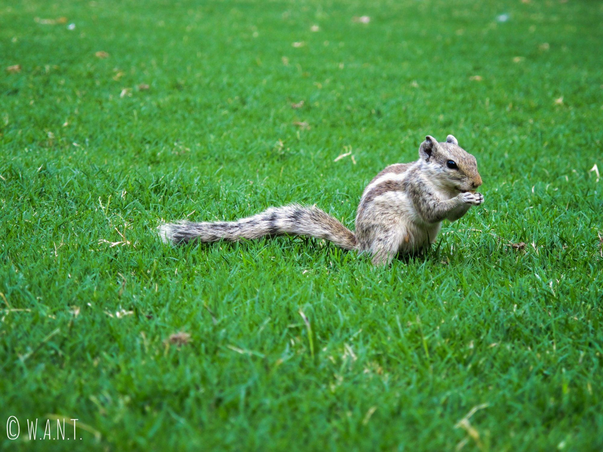 Les écureuils sont légion dans les jardins de Chokelao