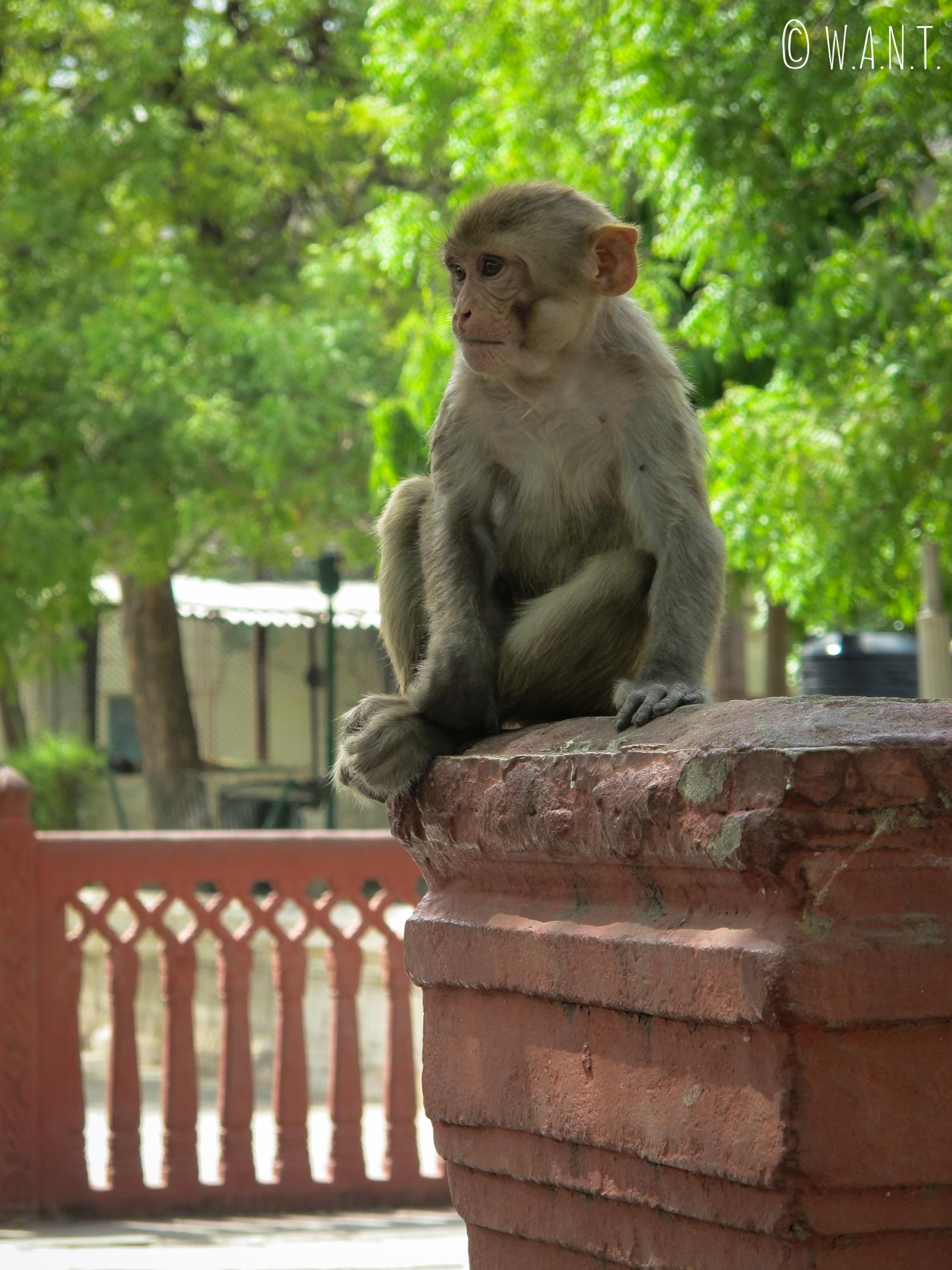 Les singes sont très nombreux dans le parc Jai Niwas, mais sont toutefois assez agressifs envers l'Homme