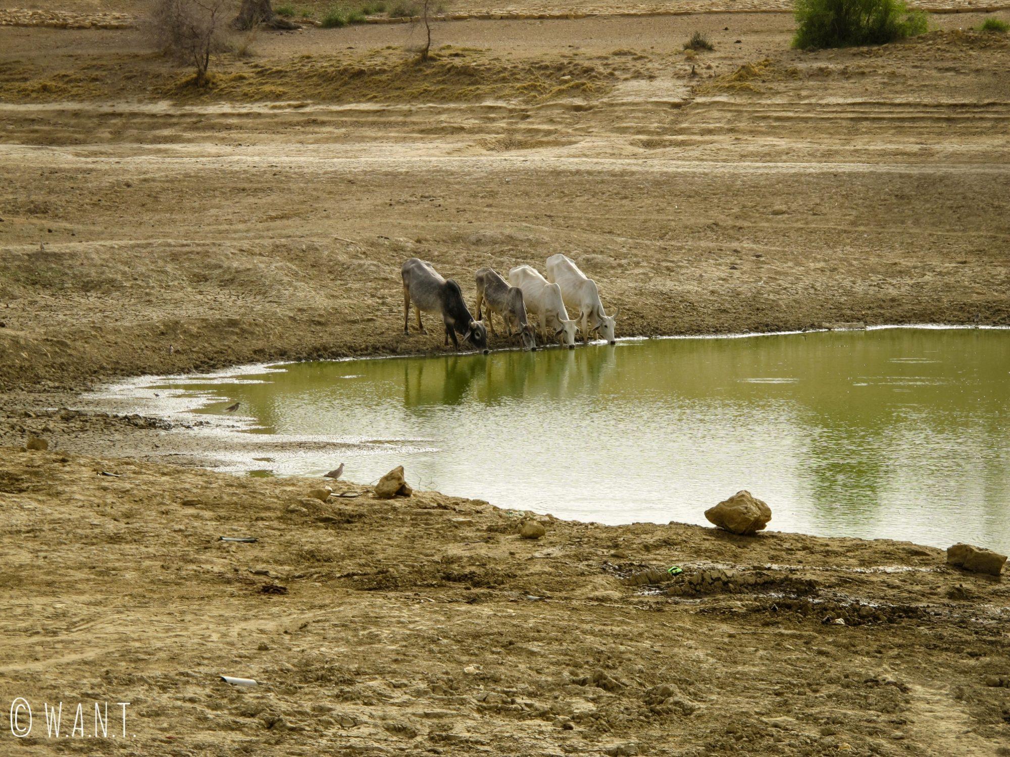 Quatre vaches s'abreuvent dans ce qui reste de l'oasis en cette période sèche