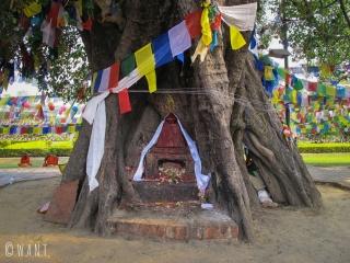 Bodhi Tree au coeur du temple Maya Devi à Lumbini
