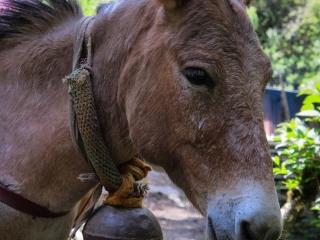 Le mulet qui dirige la caravane porte une cloche et indique le chemin le plus sûr, qu'il connaît par coeur