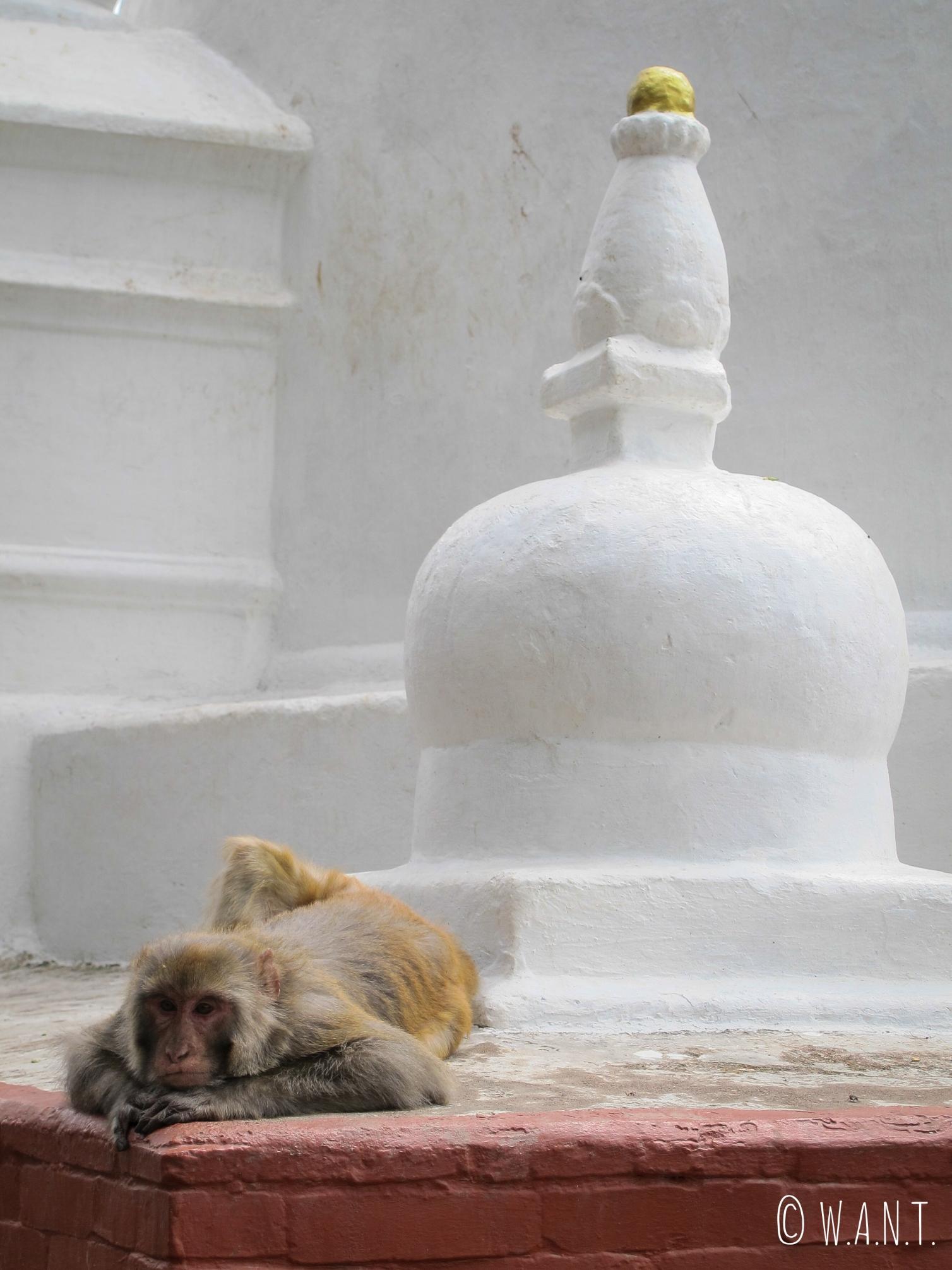Le stupa Swayambhunath est également fréquenté par de nombreux singes