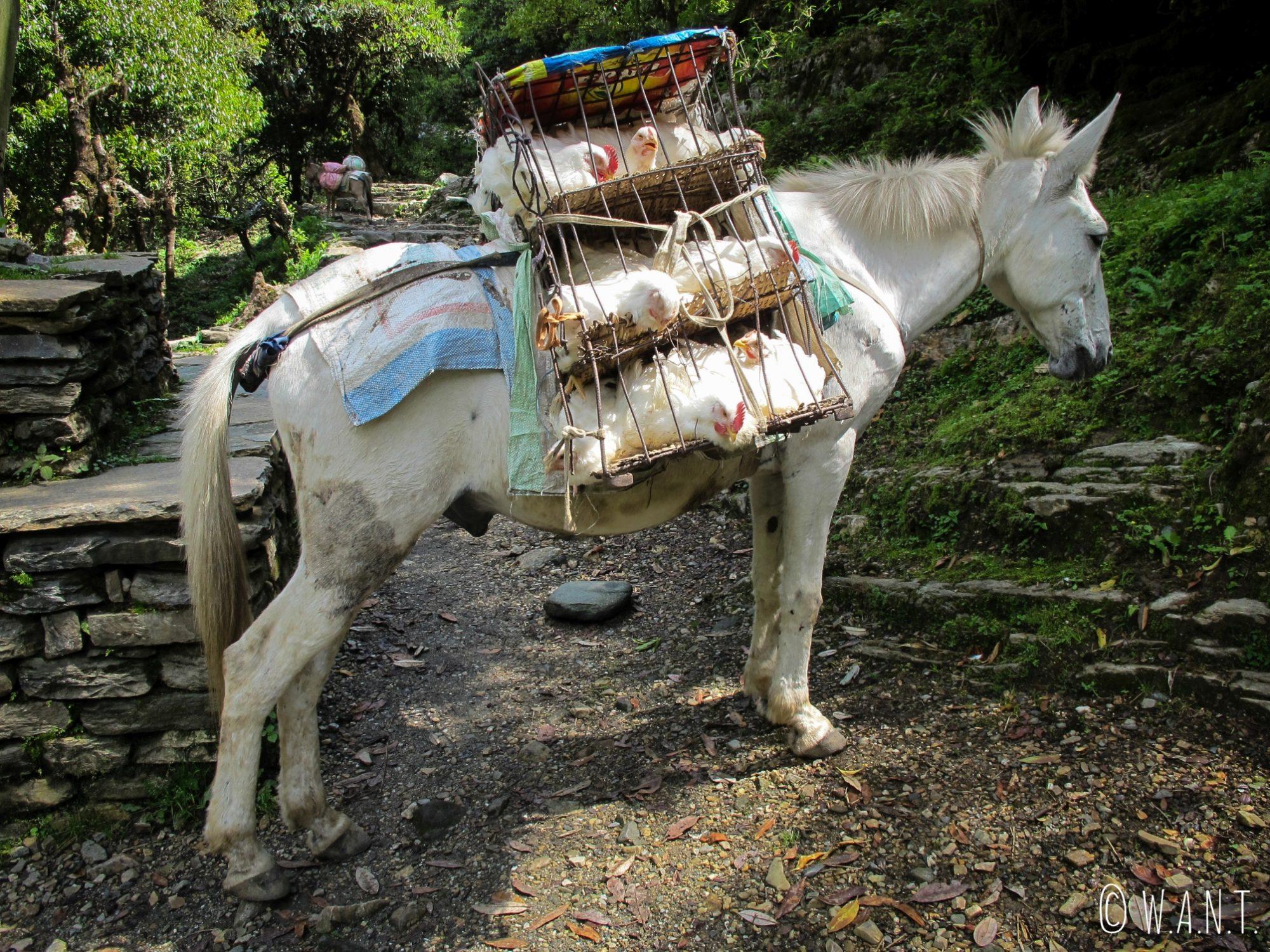 Les mulets jouent un rôle essentiel afin d'approvisionner les villages du sanctuaire des Annapurnas