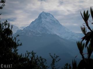 Lors de la descente de Poon Hill, le Machhapuchhre est toujours visible entre les rhododendrons