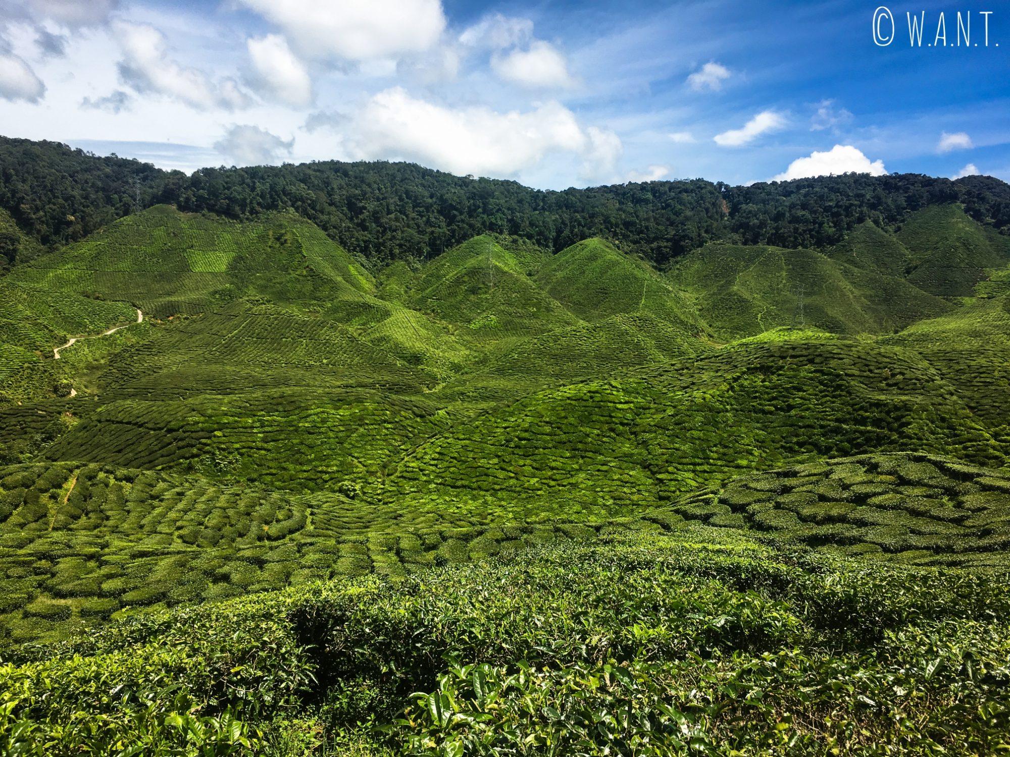 A perte de vue, nous ne voyons que des plants de thé sur le trail numéro 6 des Cameron Highlands