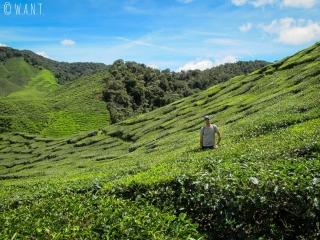 Benjamin se cache au milieu des plans de thé situés à la sortie de Tanah Rata