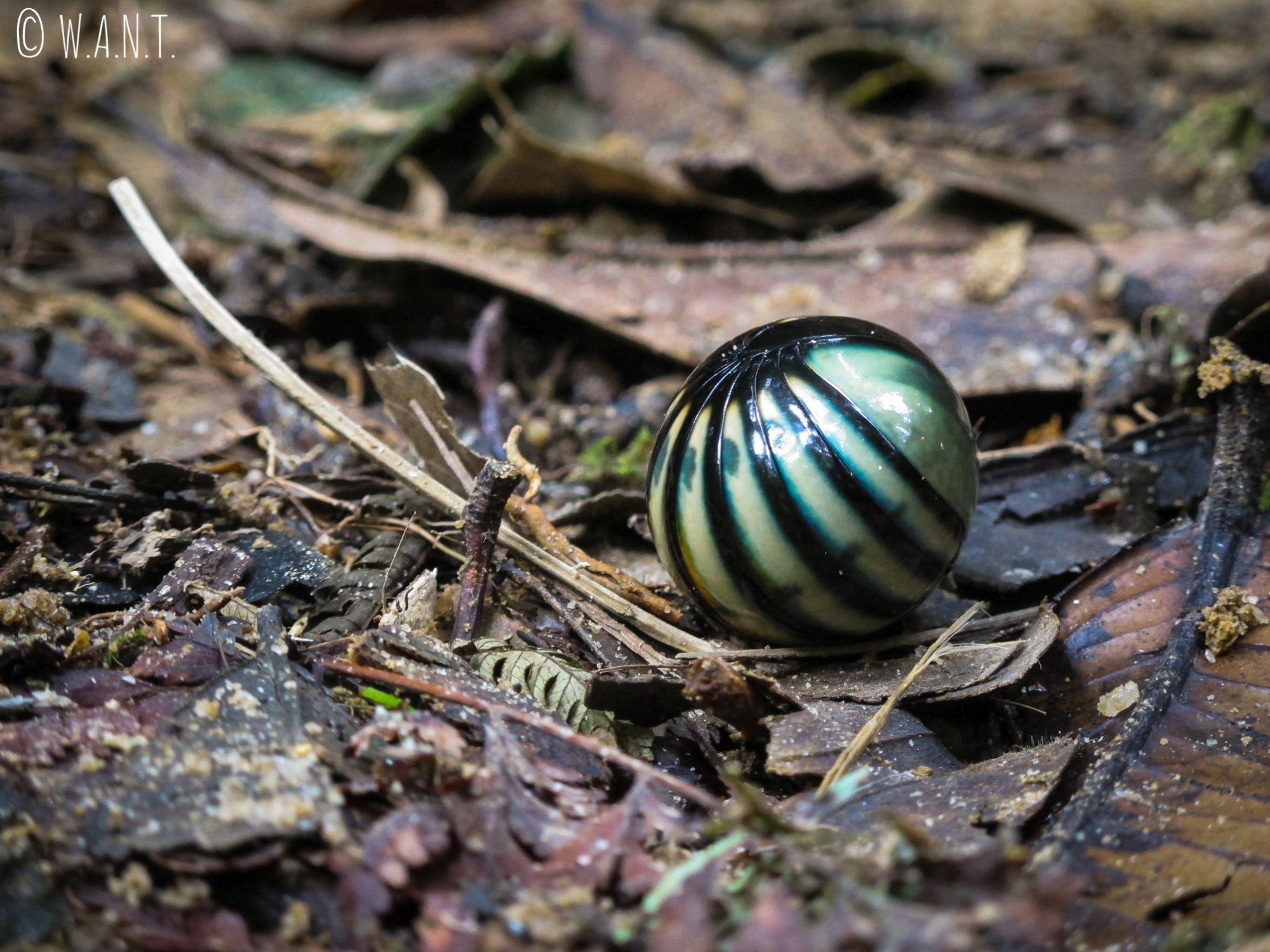 Ce petit insecte de la famille des gloméridés se roule en une boule parfaite