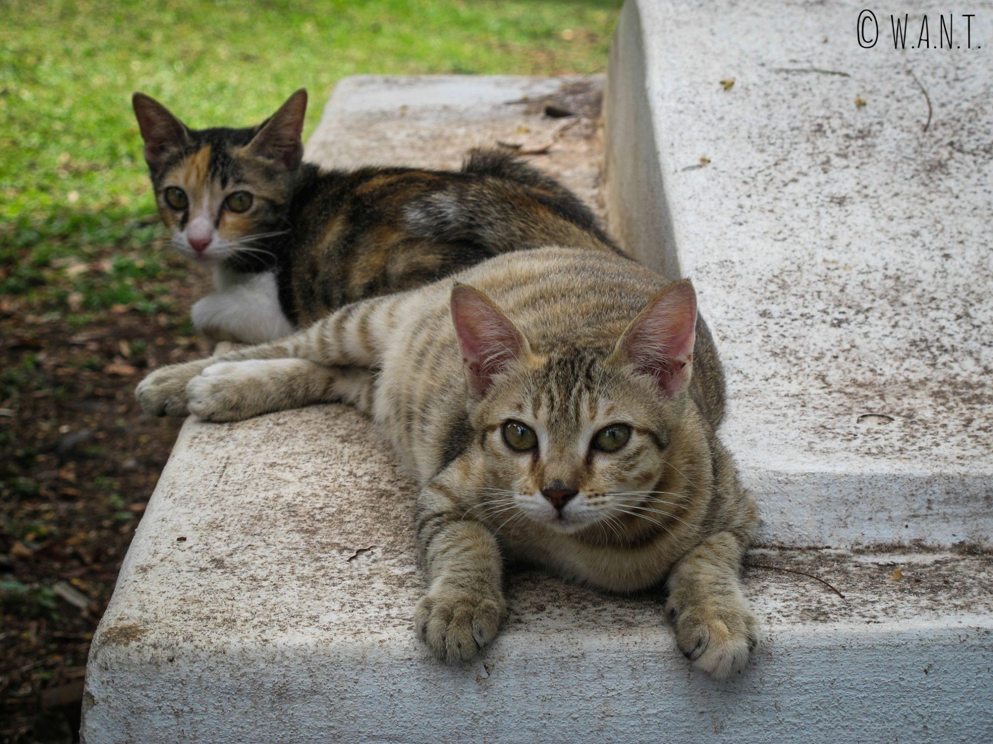 Deux petits chats prennent la pause sur la colline St Paul de Malacca