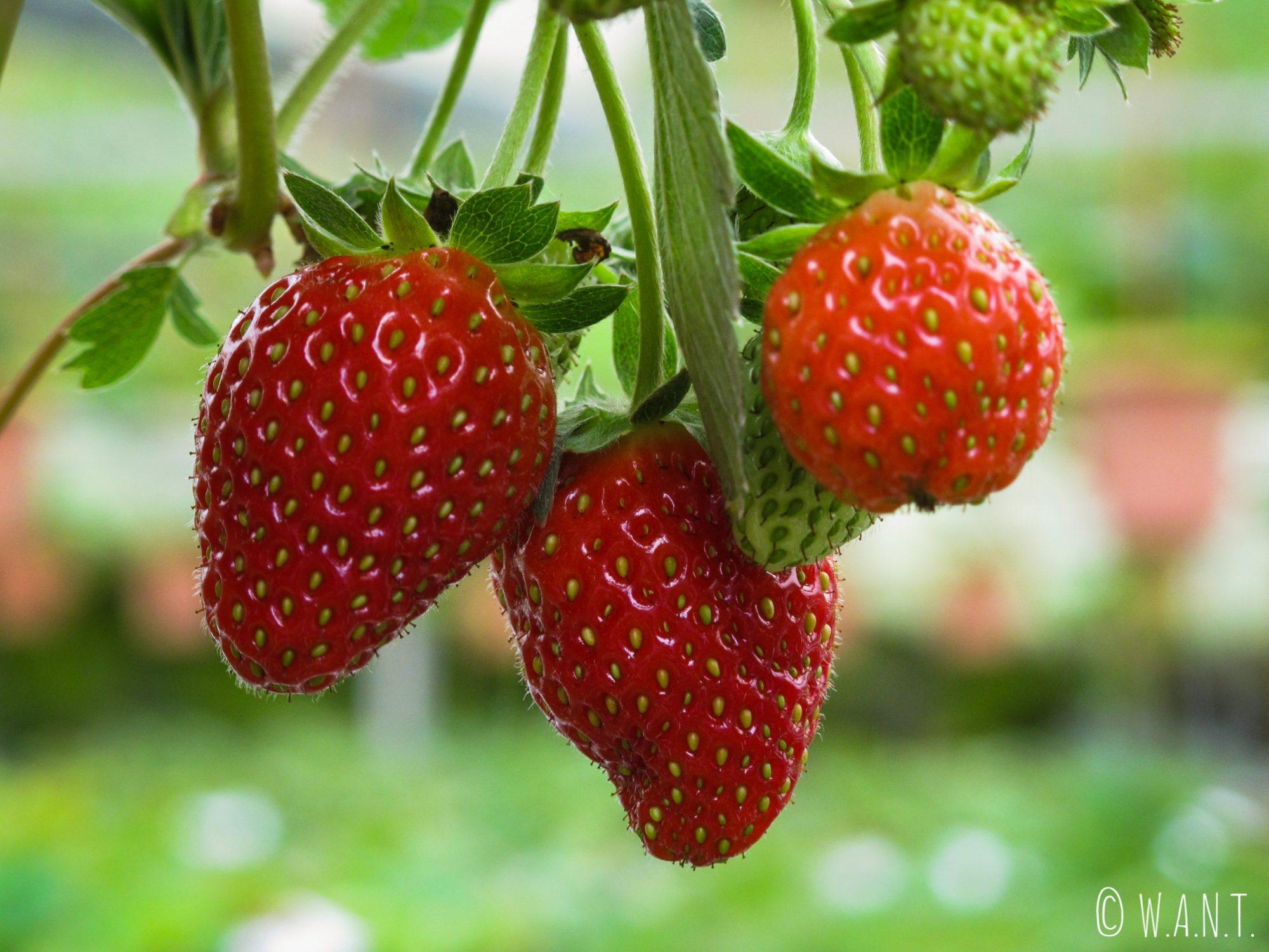 Gros plan sur des fraises des Cameron Highlands