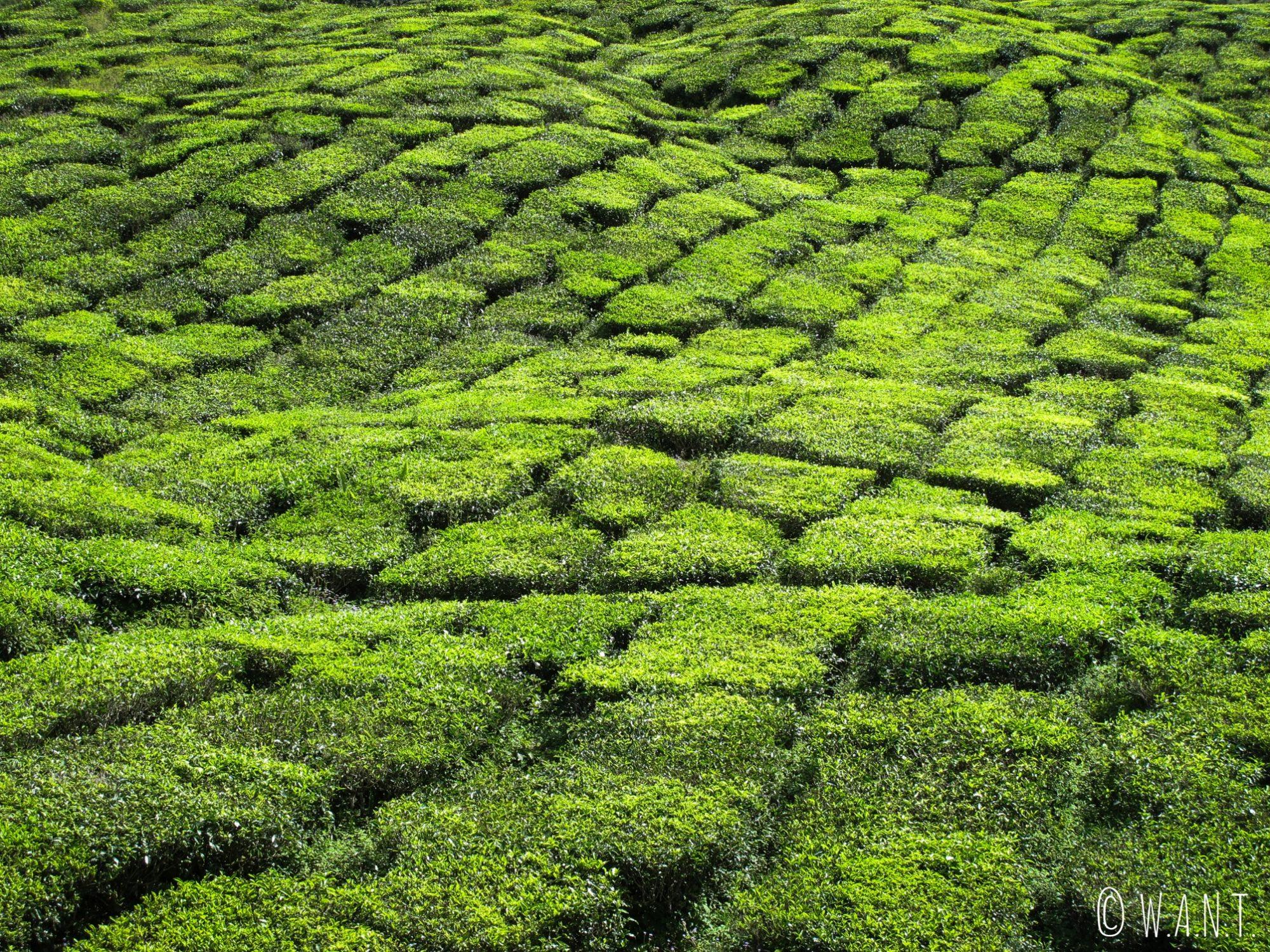 Gros plan sur les plants de thé de la plantation Barath Tea à Tanah Rata