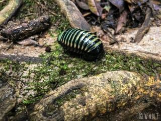 Insecte de la famille des gloméridés rencontré dans la jungle des Cameron Hughlands