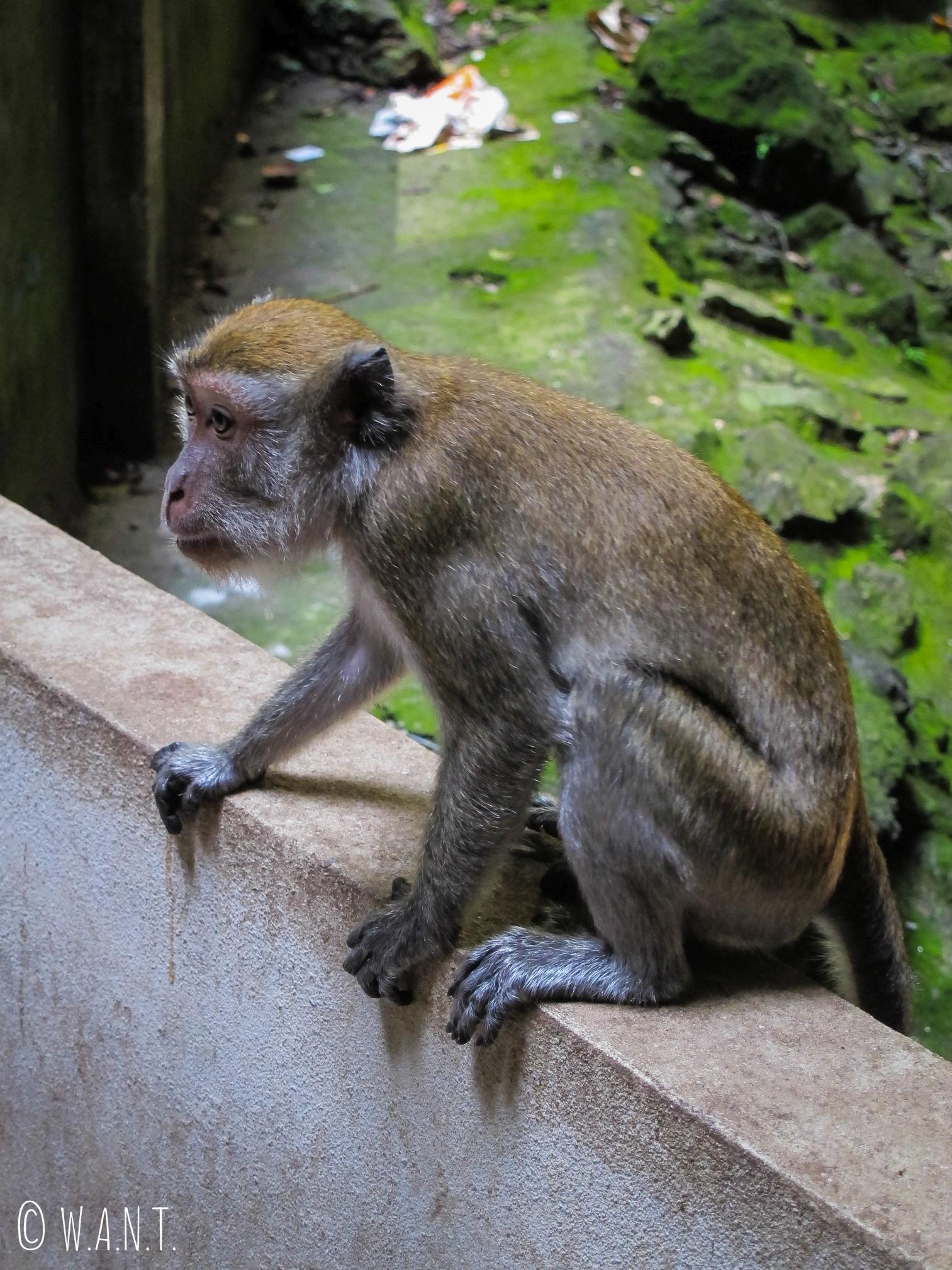 Le singes font la loi aux Batu Caves