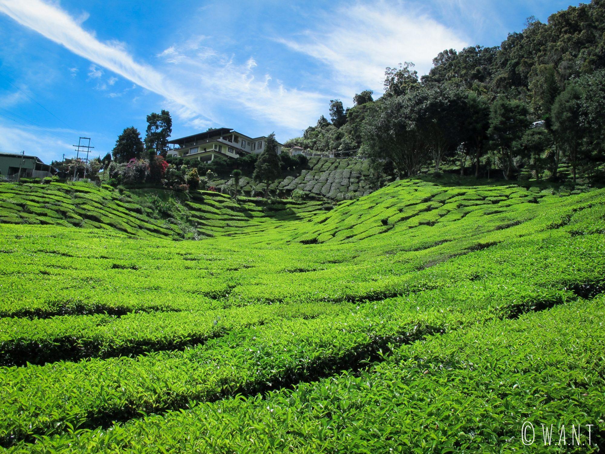 Le soleil donne une couleur verte éclatante aux plants de thé des Cameron Highlands