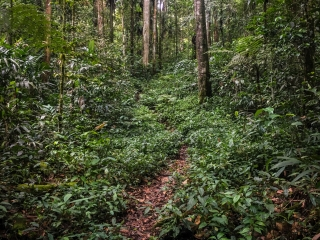 Les chemins de trail des Cameron Highlands sont étroits et escarpés