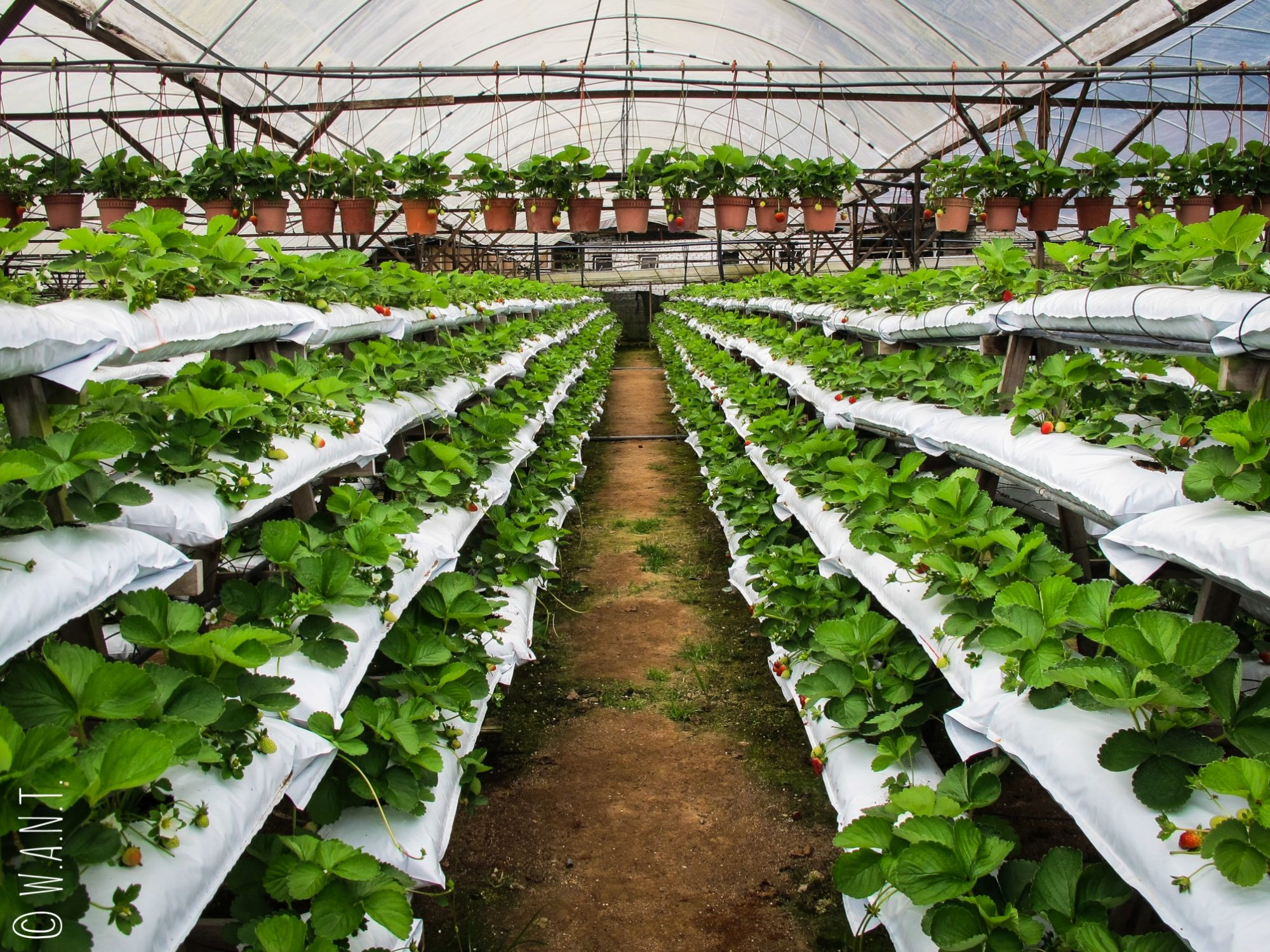 Les fraises sont une des spécialités des Cameron Highlands