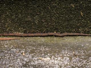 Petit serpent rencontré sur le trail numéro 2 au départ de Brinchang