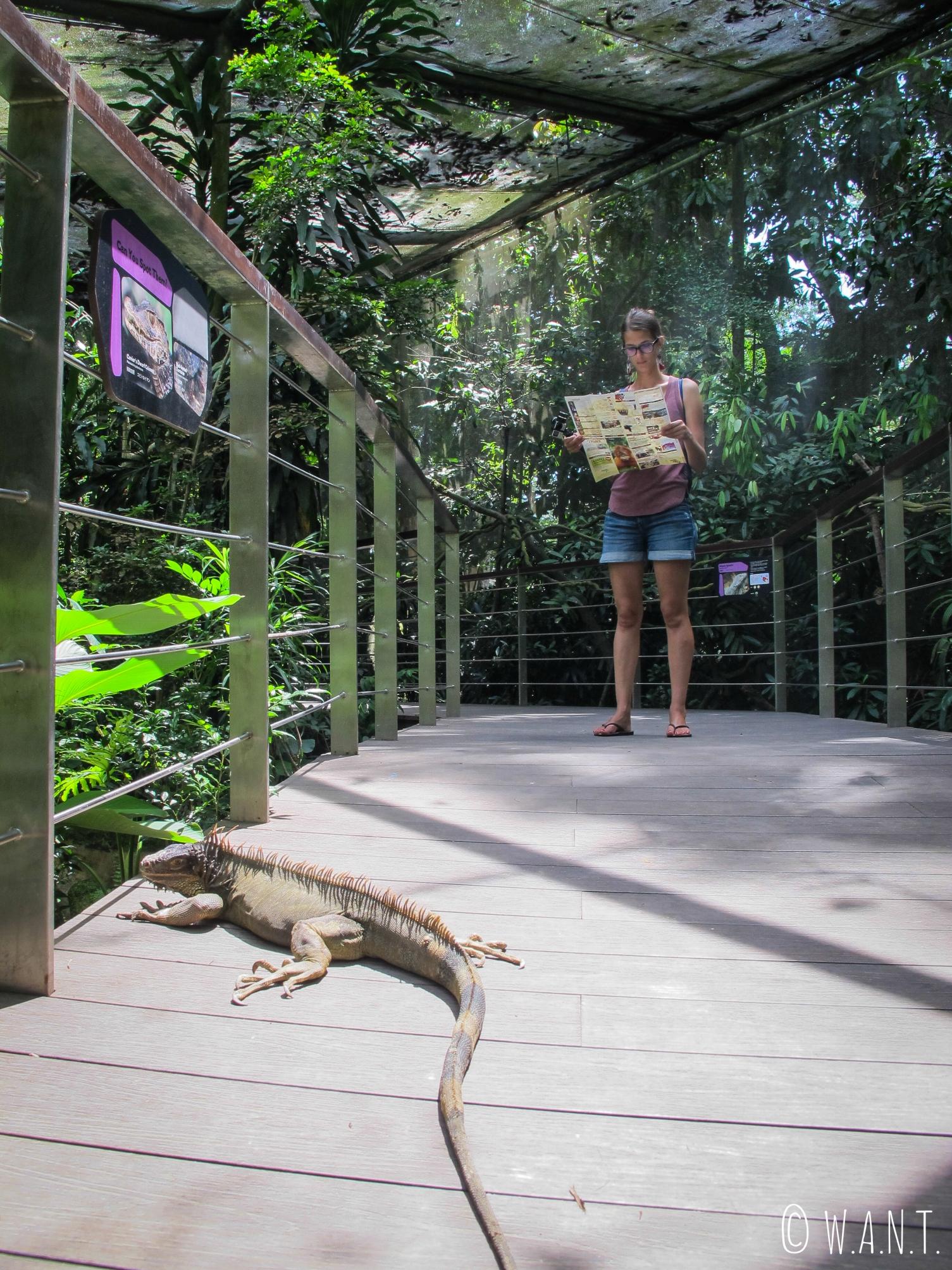 Rencontre avec ce lézard en liberté au zoo de Singapour