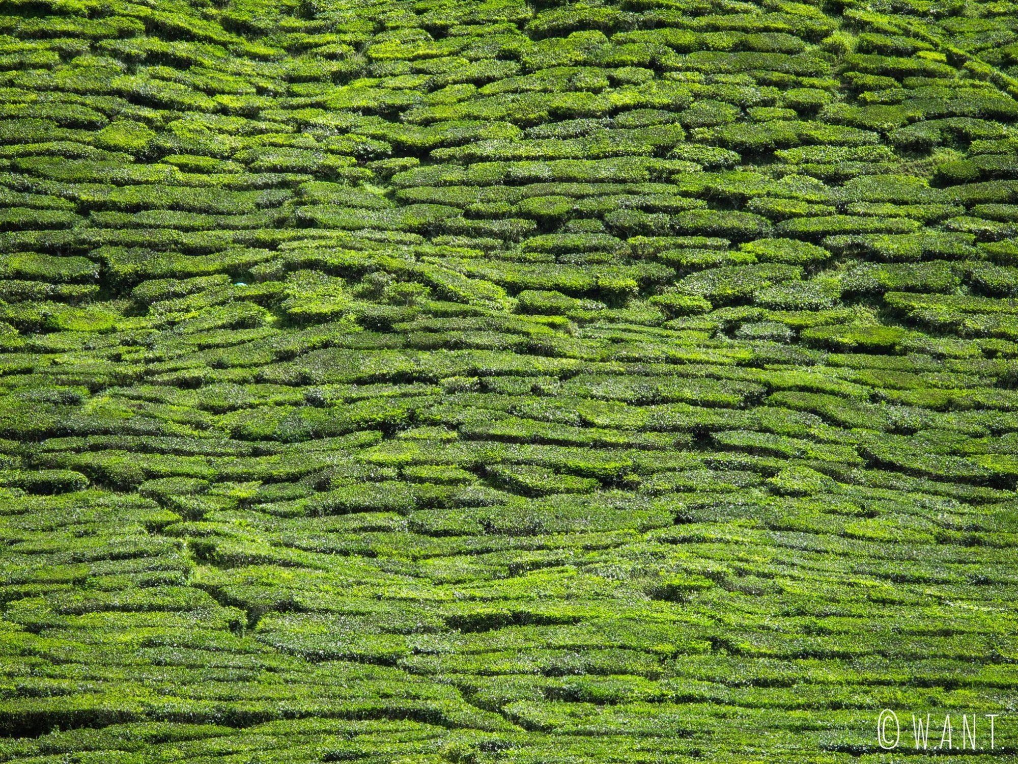 Tapis de plants de thé de la plantation Barath Tea dans les Cameron Highlands