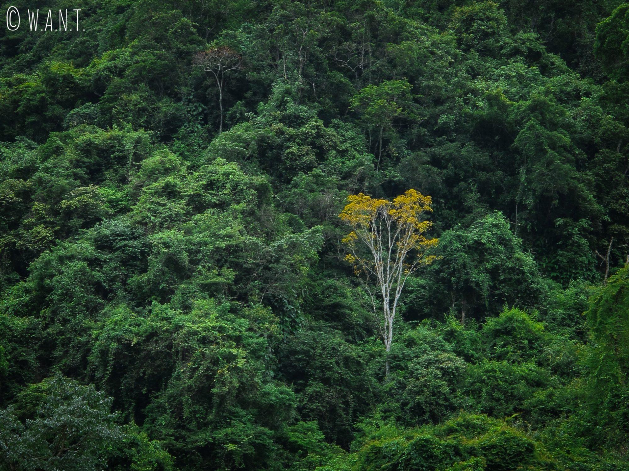 Arbre jaune au milieu de la végétation dense du parc national Phong Nha-Ke Bang