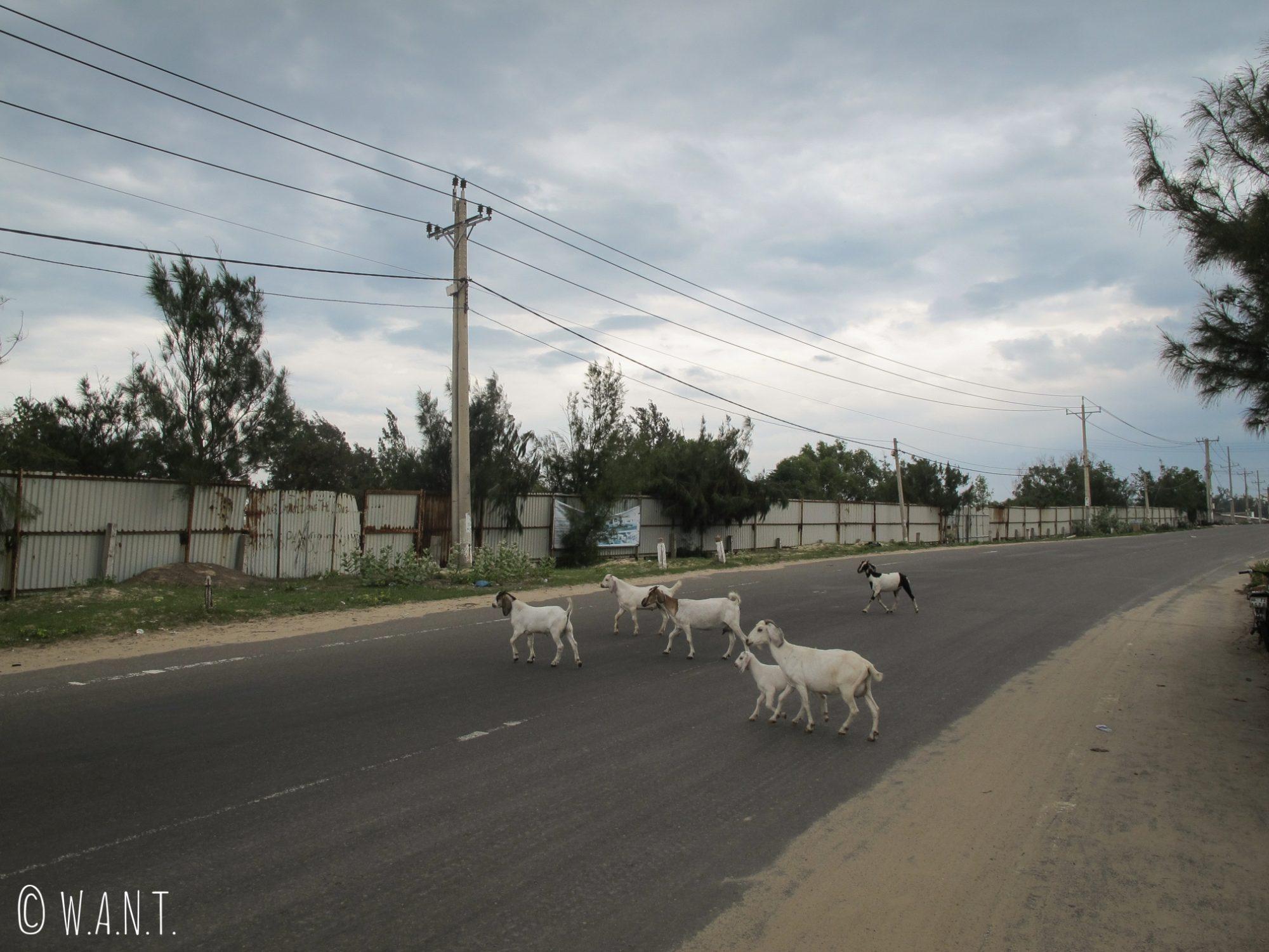 Biquettes traversant la route à Mui Ne