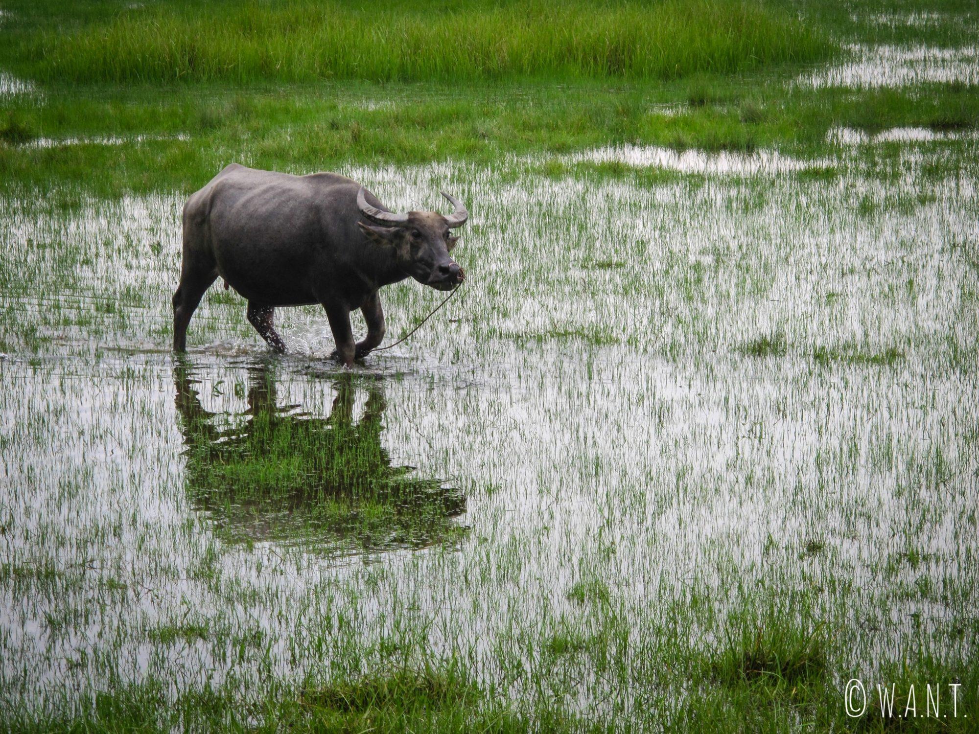 Buffle d'eau dans les rizières de Hoi An
