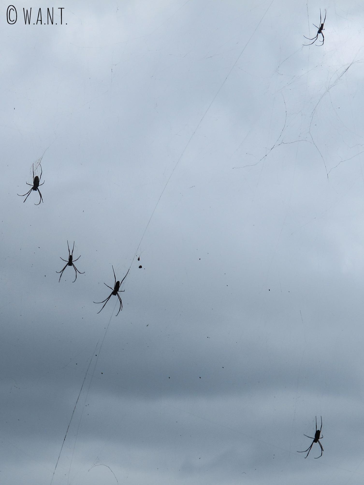Enormes araignées pendues entre les fils électriques sur la route 725 de Da Lat