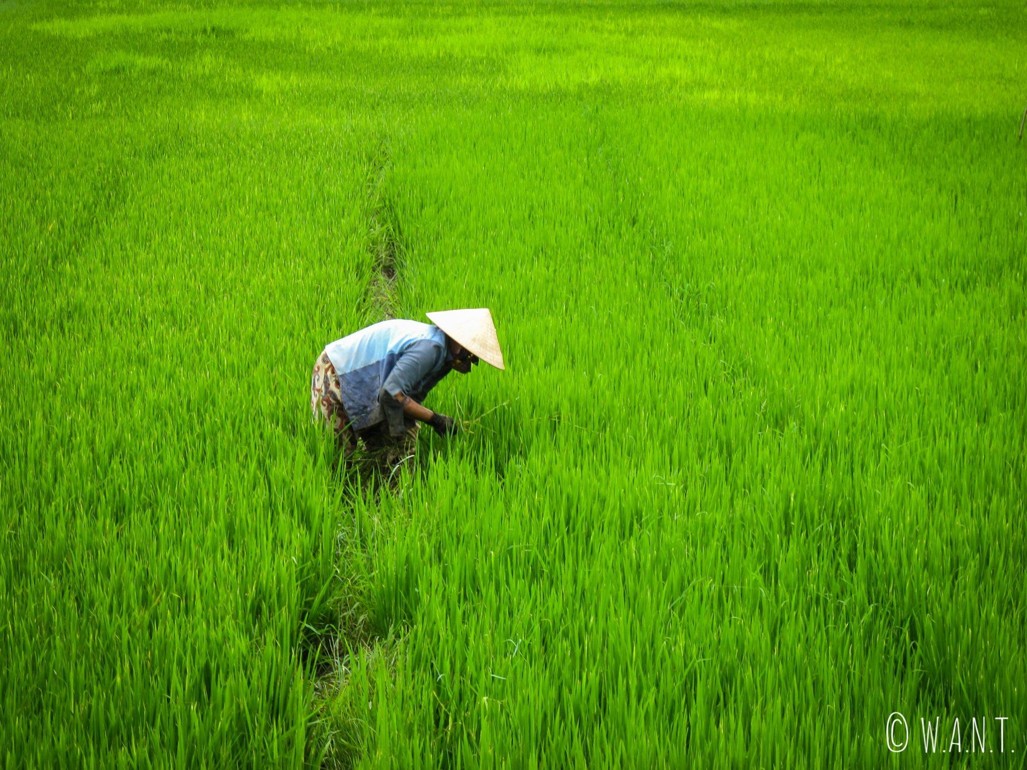 Femme dans les rizières sur l'île de Cam Kim