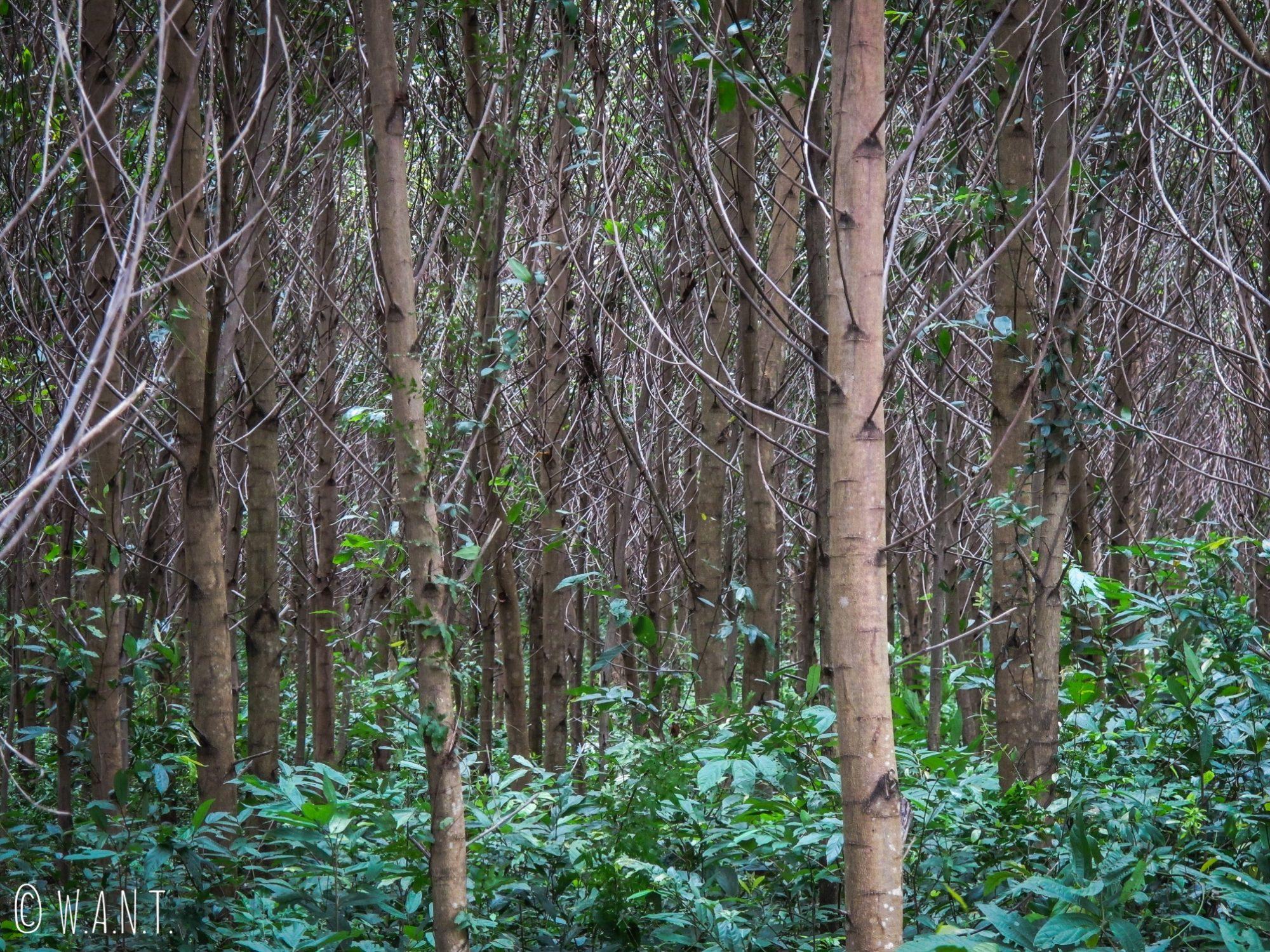 Forêt d'Hévéa à Phong Nha