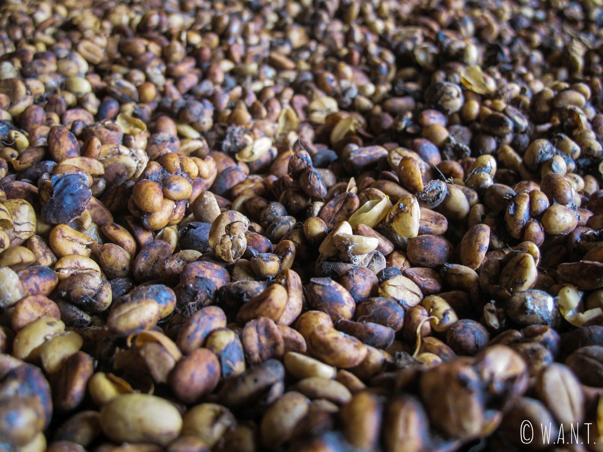 Grains de café récoltés dans les excréments des civettes pour fabriquer le Café Luwak