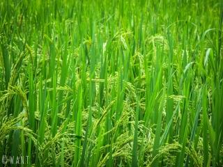 Gros plan dans les rizières autour de Ha Giang