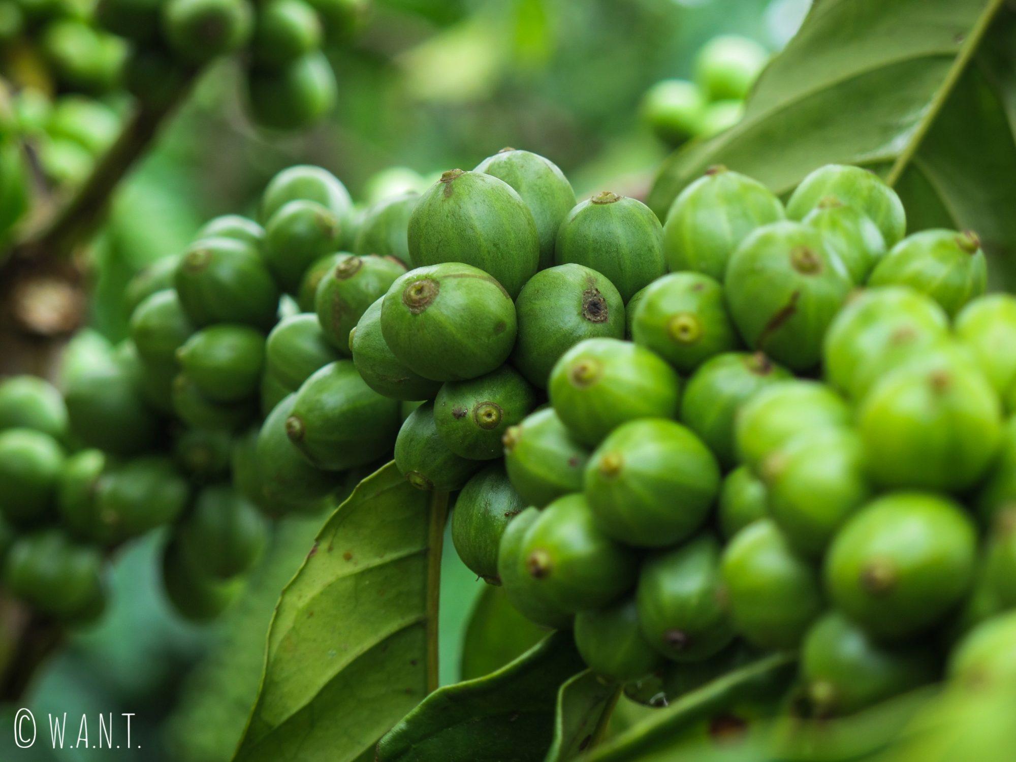 Gros plan sur les grains de café non-cueillis avant qu'ils soient donnés aux civettes