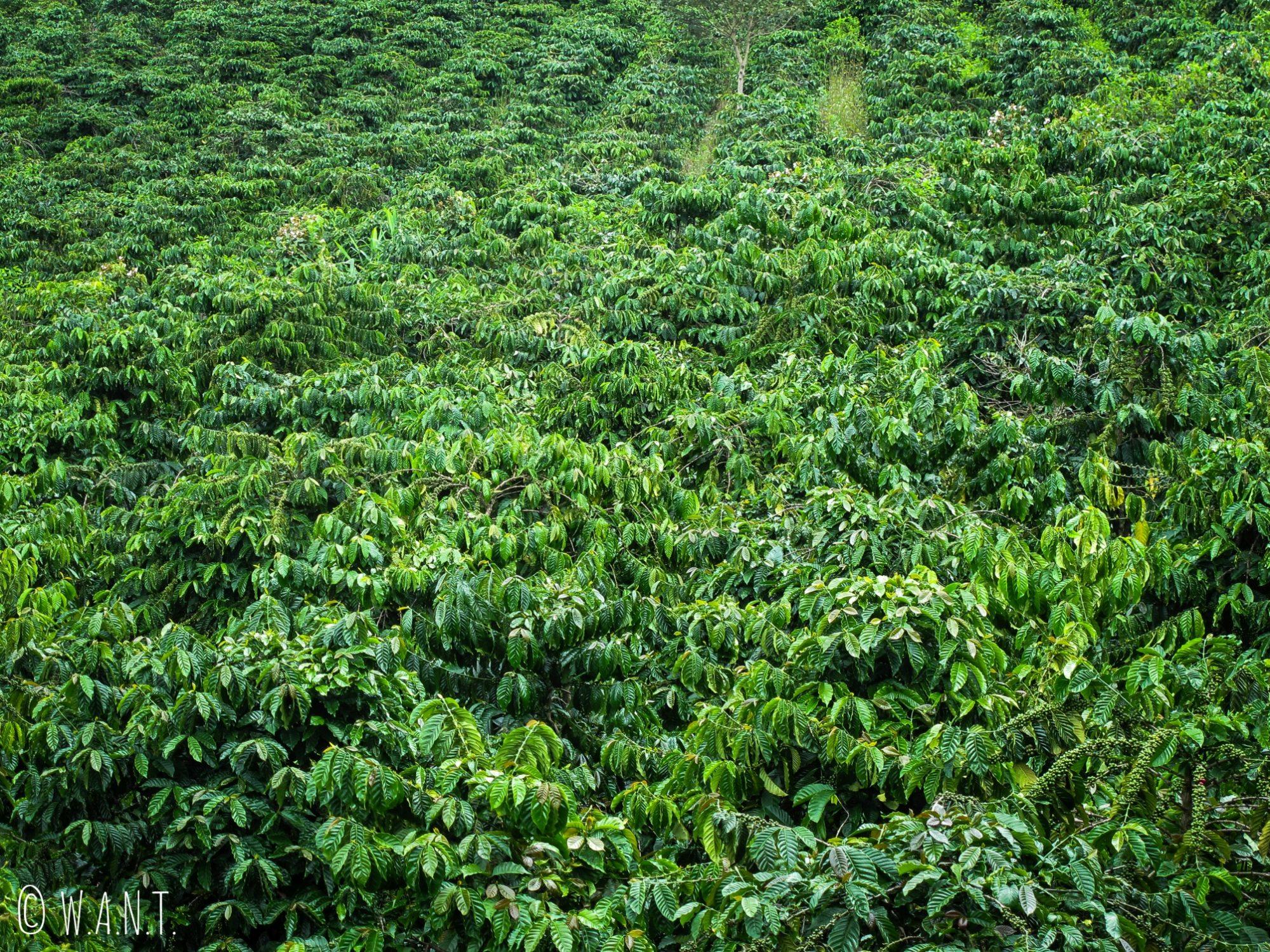 Gros plan sur les plans de café servant à la production de Café Luwak près de Da Lat