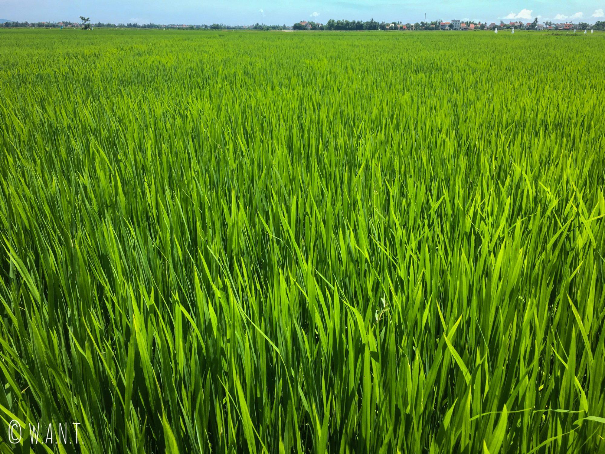 Gros plan sur les rizières de Hoi An