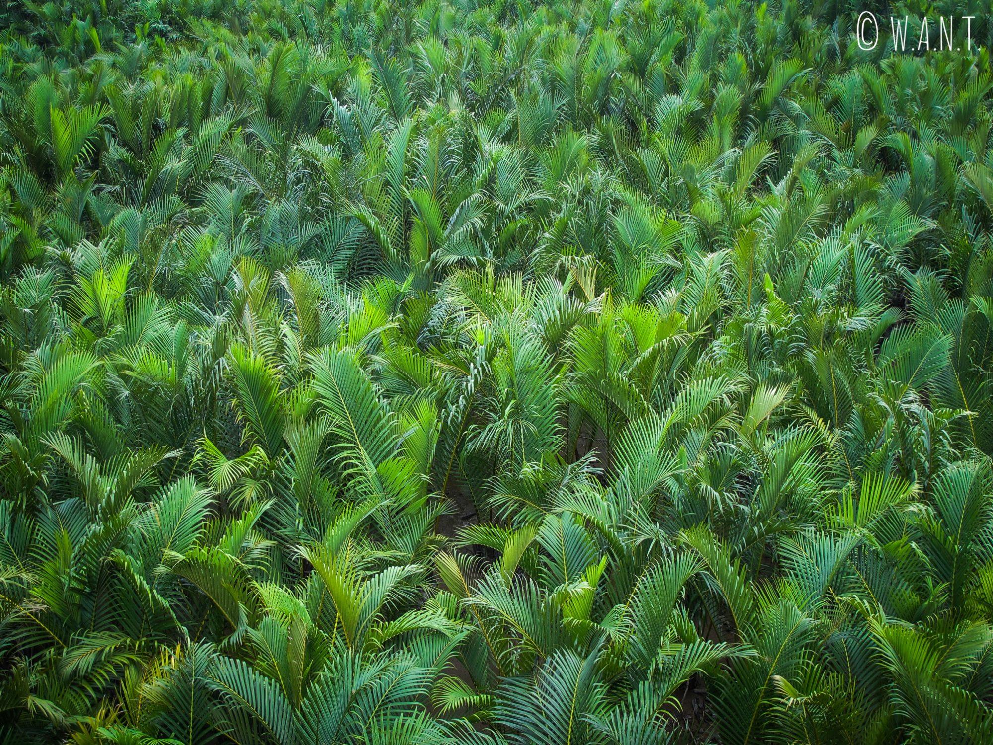 Gros plan sur les water coconut à Hoi An