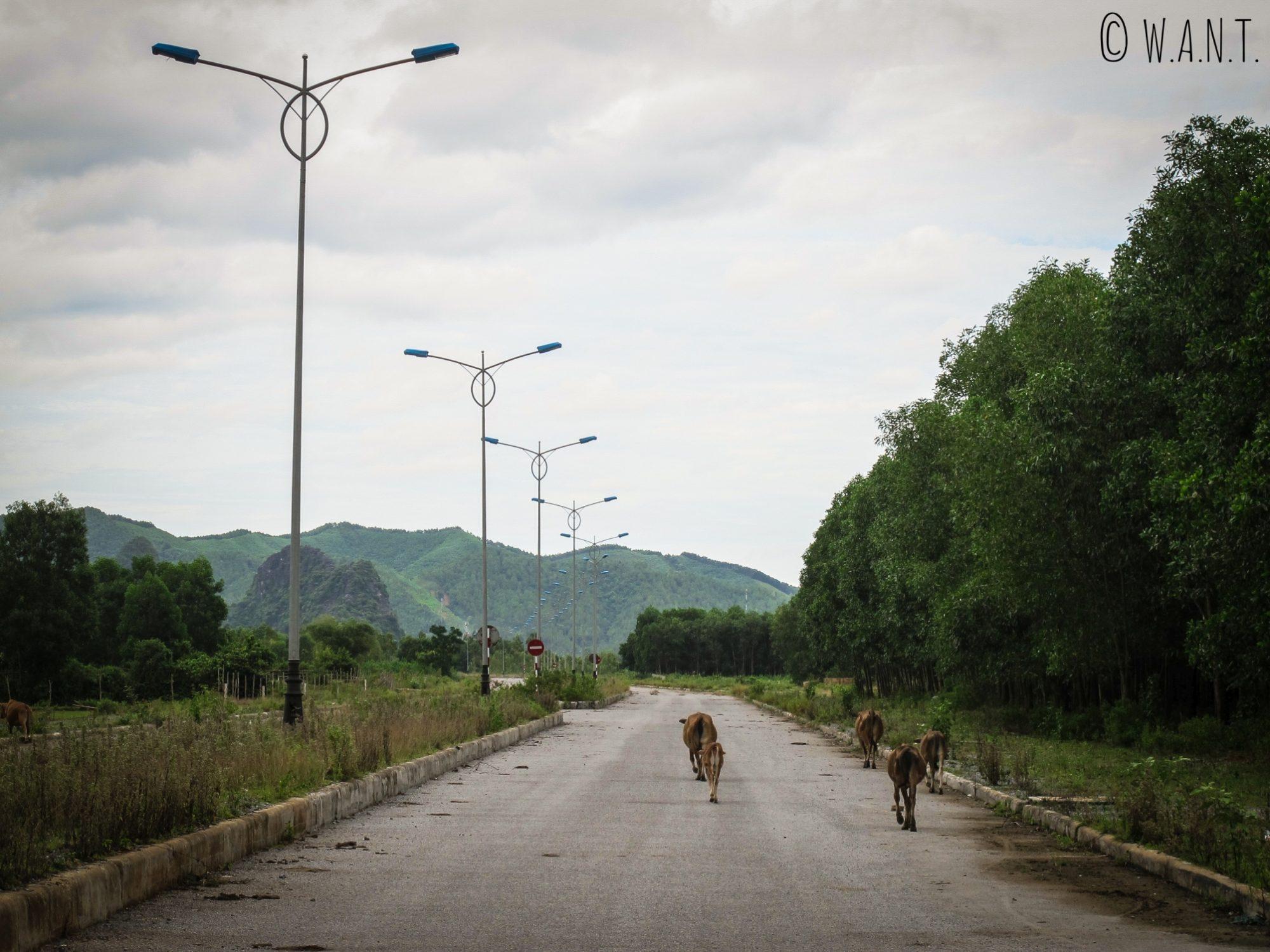 Le Highway 20 à Son Trach n'est fréquenté que par les vaches